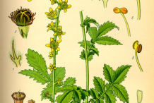 Agrimony-Plant-Illustration