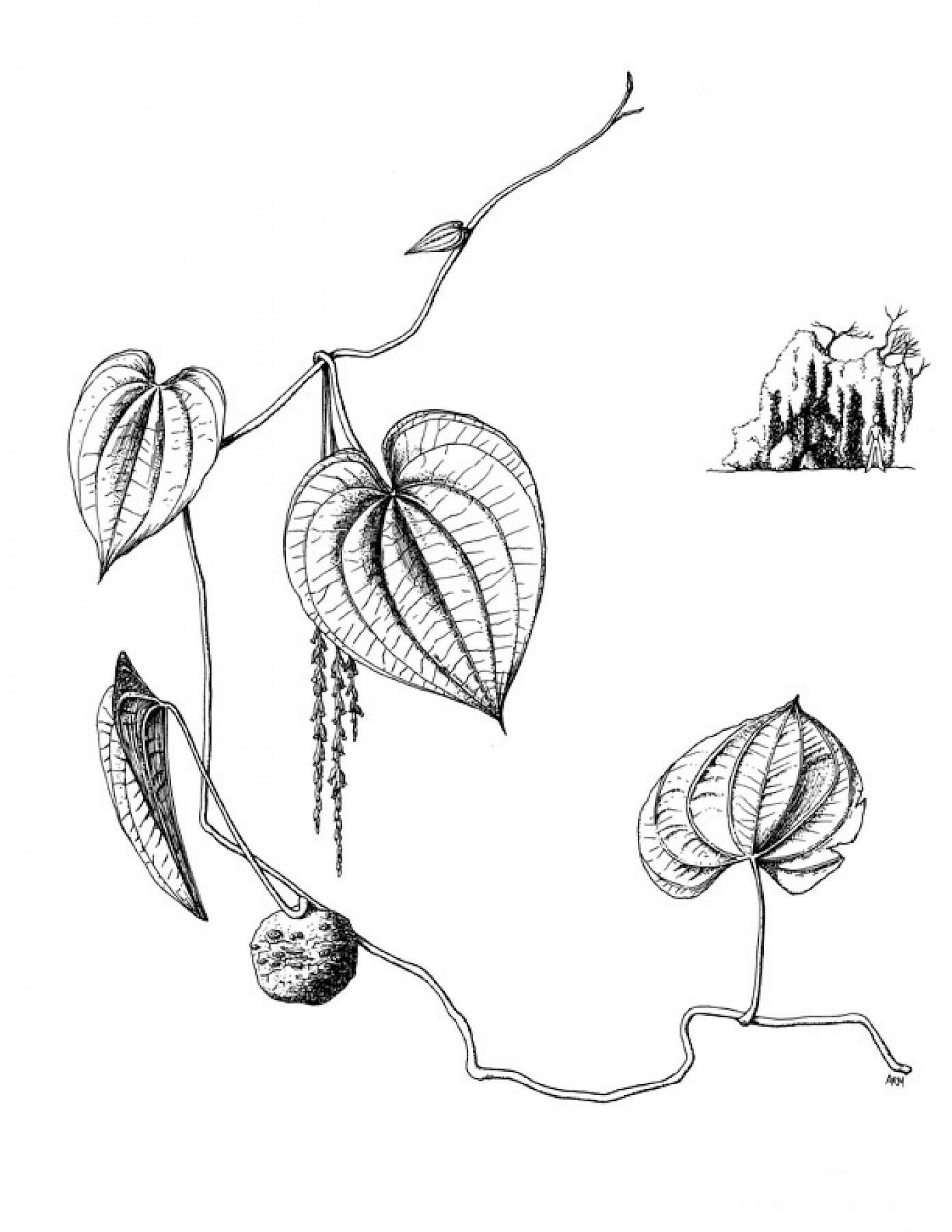 Sketch-of-Air-Potato
