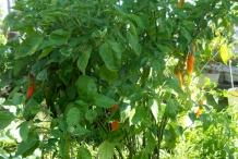 Aji-amarillo-plant