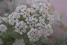 Ajwain-flower