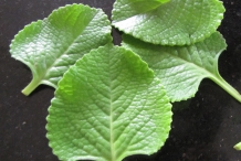 Leaves-of-Ajwain