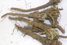 Akarkara-root