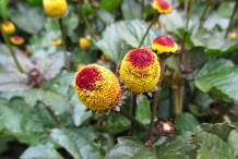 Close-up-flower-of-Akarkara