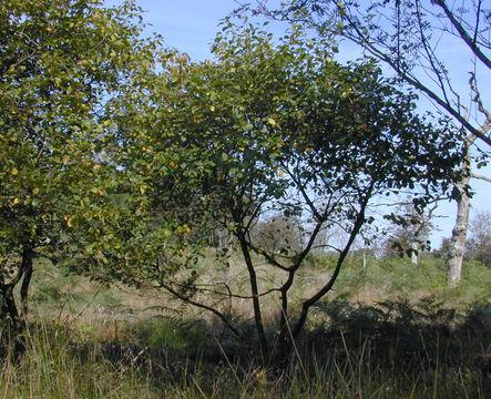 Alder-buckthorn-Plant