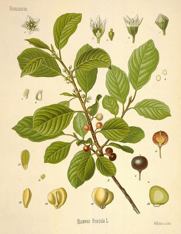 Alder-buckthorn-plant-Illustration