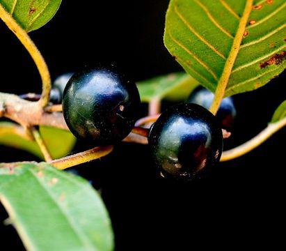 Mature-Alder-buckthorn-fruit