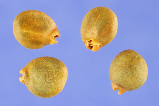 Seeds-of-Alder-buckthorn