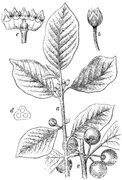 Skech-of-Alder-buckthorn-plant