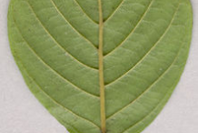 Underside-view-of-leaf