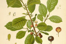 Alder-buckthorn-plant-Illustration