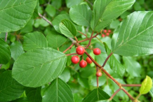 Closer-view-of-Leaf-&-fruit-of-Alder-buckthorn