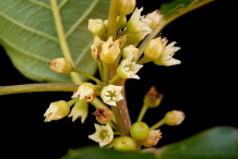 Flowers-of-Alder-buckthorn