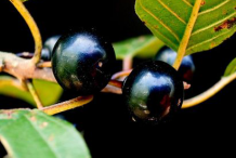 Mature-Alder-buckthorn-fruit
