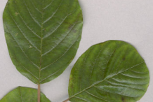 Upper-surface-of-Leaf