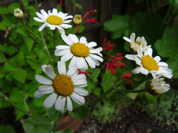 Alecost-flowers