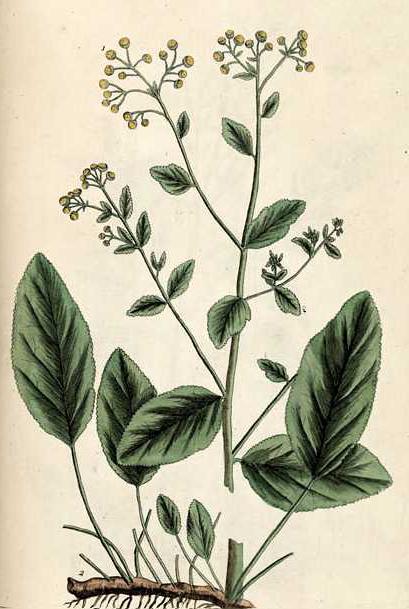 Plant-illustration-of-Alecost