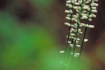 Aletris-Flowers