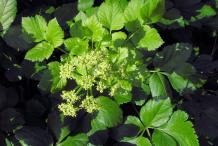 Alexanders-Plant