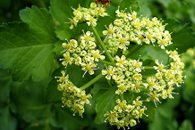 Flower-of-Alexanders