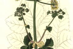 Plant-Illustration-of-Alexanders
