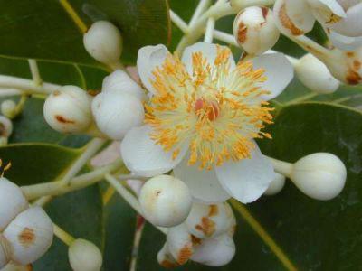 Closer-view-of-flower-of-Alexandrian-Laurel