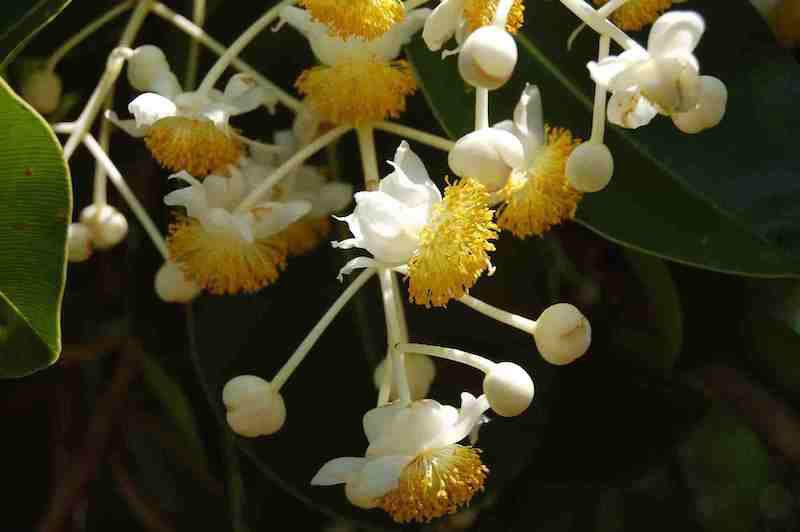 Flower-of-Alexandrian-Laurel