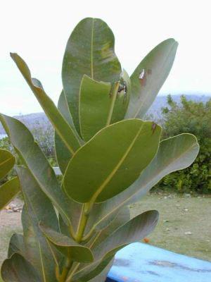 Leaves-of-Alexandrian-Laurel