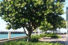 Alexandrian-Laurel-tree
