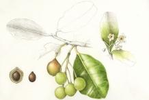 Plant-Illustration-of-Alexandrian-Laurel