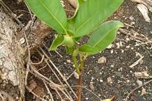 Seedling-of-Alexandrian-Laurel