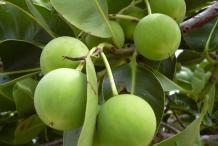Unripe-fruit-of-Alexandrian-Laurel