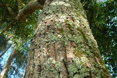 Bark-of-Alexandrian-Laurel