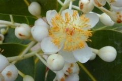 Closer-view-of-flower-of-Alexandrian-Laurel