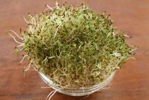 Alfalfa-sprouts-5
