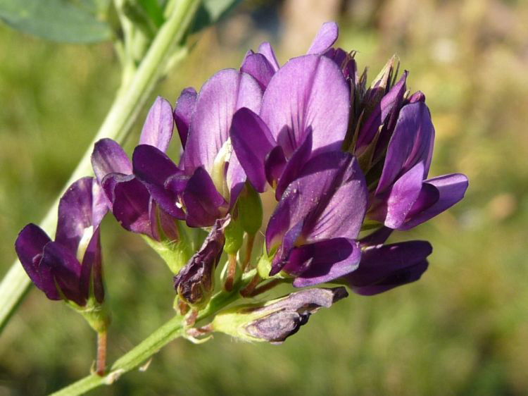 Close-up-flower-of-Alfalfa
