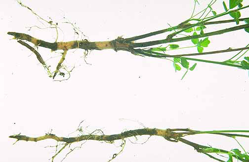 Root-of-Alfalfa