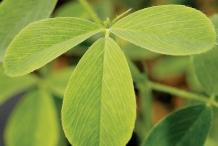 Leaves-of-Alfalfa