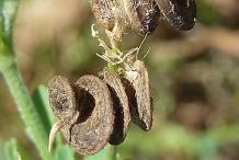 Alfalfa-fruit