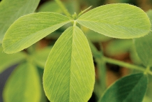 Leaves-of-Alfalfa