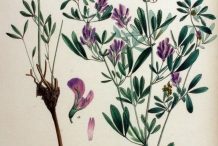 Plant-illustration-of-Alfalfa