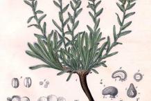 Alkanet-plant-Illustration