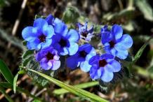 Flower-of-Alkanet-plant
