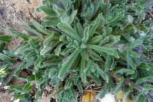 Small-Alkanet-plant