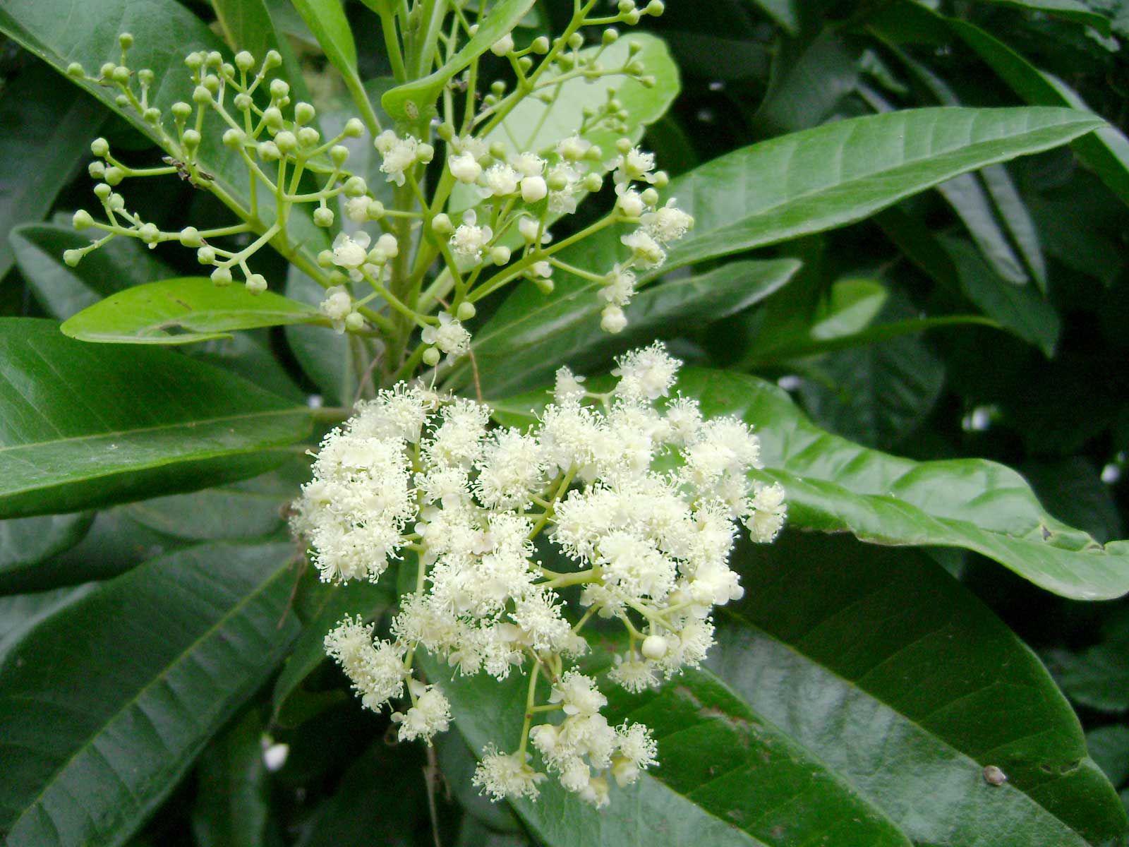 Allspice-close-up-flower