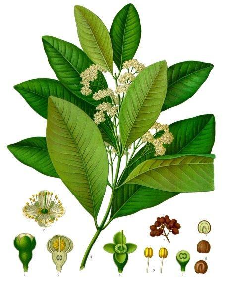 Plant-illustration-of-Allspice