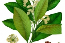 Plant-illustration-of-Allspice
