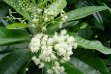 Allspice-close-up-flower