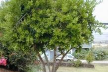 Allspice-tree