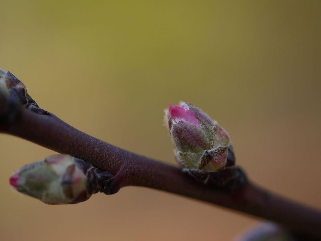 Flower-bud-of-Almond