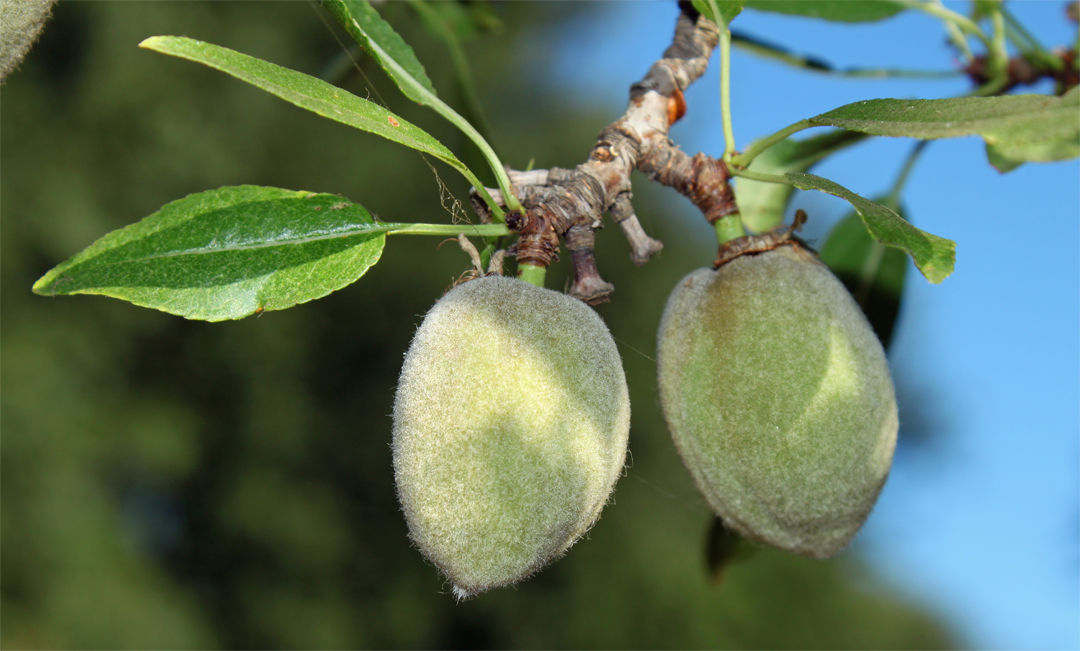 Fruit-of-Almond